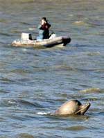 Cá voi lạc vào sông Thames