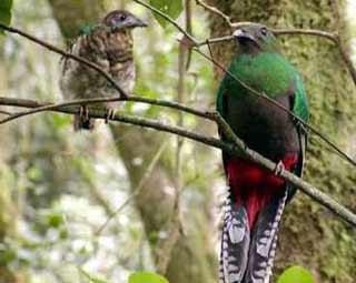 Chim đuôi seo
