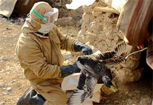 Cúm gà xuất hiện ở Iraq