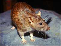 Chuột ngửi mùi theo cách giống stereo
