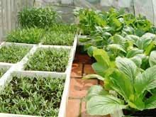 Trồng rau xanh sạch trong nhà nơi phố thị