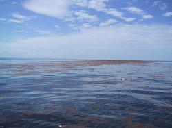 Biển không bờ Sargasso (Tảo đuôi ngựa)