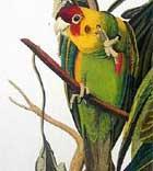Loài vẹt cũng biết phân biệt ngôn ngữ