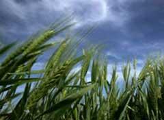 Tạo giống lúa mỳ chịu hạn, cao sản