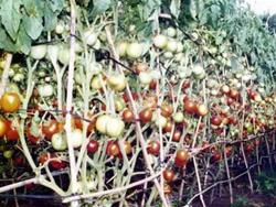 Cà chua ghép kháng bệnh