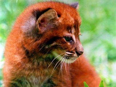 Quảng Bình: Cứu sống một con báo lửa bị săn trộm