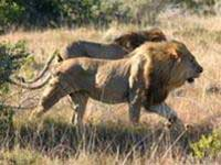 2016: có thể không còn sư tử châu Phi