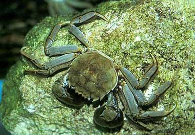 8 loài động vật không xương sống ở nước xâm hại nguy hiểm nhất trên thế giới