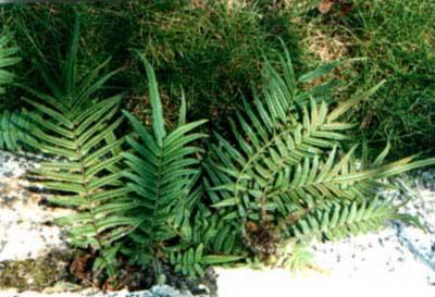 Trung Quốc: Trồng cây dương xỉ cải tạo đất