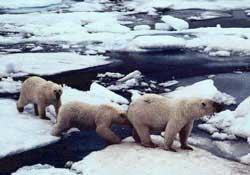 Không thể tránh khỏi hiện tượng nóng dần ở Bắc cực