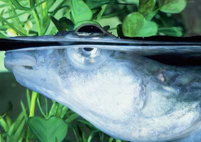 Cá 4 mắt lưỡng dụng - Anableps