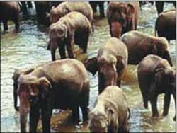 Trung Quốc: tạo ra giống voi không ngà