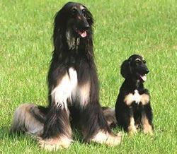 Snuppy - chú chó nhân bản đầu tiên trên thế giới.