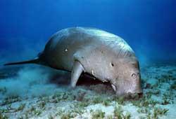 Cá mỹ nhân Dugong