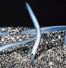 Cá van xương - Amphioxus