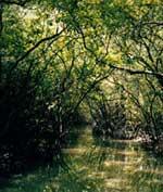 Nhật Bản tiếp tục hỗ trợ VN trồng rừng ngập mặn