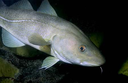 Cá tuyết Gadus morhua