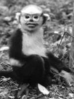 Bảo vệ loài voọc mũi hếch ở Hà Giang