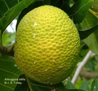 Cây bánh mì Arctocarpus altilis