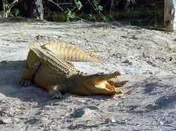 Họp bàn giải cứu cá sấu sông Hinh