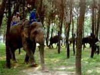 Khẩn cấp bảo tồn voi hoang dã Việt Nam