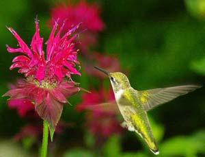 Vì sao chim ruồi có thể bay lơ lửng mà không rơi?