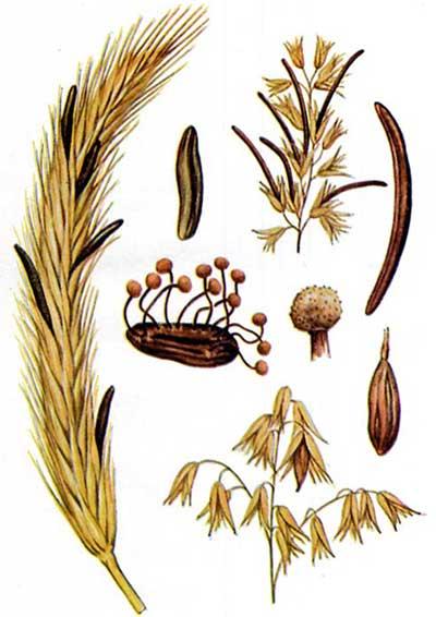 Nấm cựa gà - Claviceps