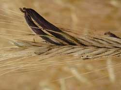 Bệnh nấm cựa gà tàn hại thời trung cổ