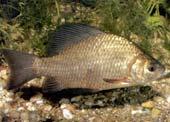 Loài cá nhịn thở trong hàng tháng