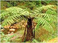 Cây Toa la (dẻ ngựa) - Alsophile spinulosa