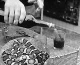 Mật rắn được dùng làm thuốc
