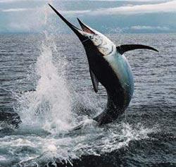 """Cá kiếm tự """"nung nóng"""" nhãn cầu để săn mồi?"""