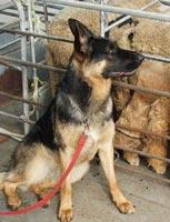 Chó phát hiện giun sán ở cừu