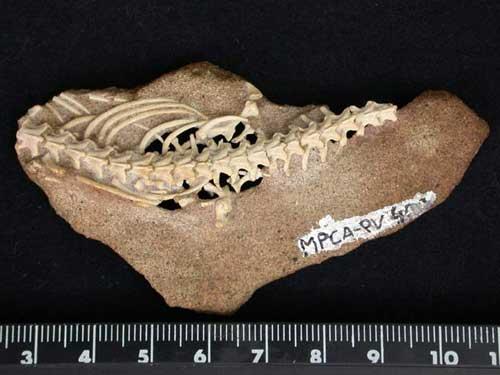 Hàng triệu năm trước rắn từng có hông