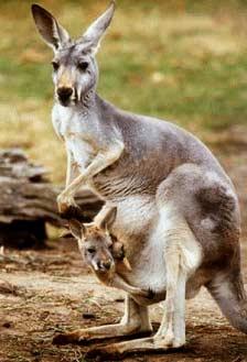 Chuột túi (Macropodidae) - Loài thú đẻ con cổ xưa
