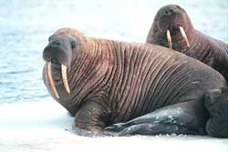 Bắc cực: Băng tan khiến hải mã bị chết