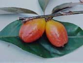Chữa bệnh bằng trái nhót
