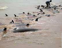 400 con cá heo chết dạt vào biển châu Phi