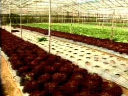 Việt Nam sản xuất thành công hạt giống nhân tạo