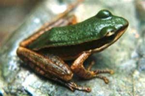 Phát hiện 8 loài ếch mới ở Lào