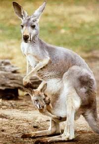 Chiếc túi của kangaroo dùng để làm gì?