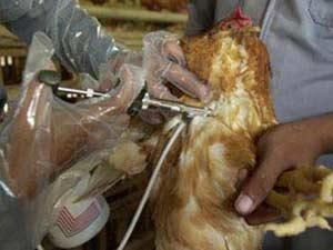 Việt Nam sản xuất vắc-xin H5N1 cho gia cầm