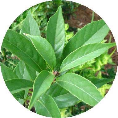 Cây khí hậu - Thanh Cương (Quercus glauca)