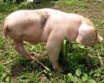 Chú lợn 3 chân