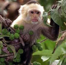 Loài khỉ cũng thông tin bằng ngôn ngữ âm thanh