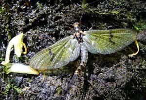 Côn trùng sống ngắn nhất - Phù du (Ephemeridae)