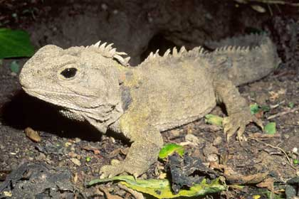 Kỳ nhông - Sphenodon punctatus
