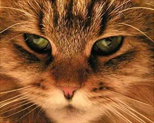 Tại sao mắt mèo một ngày biến đổi 3 lần?
