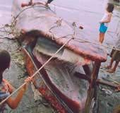 Kiên Giang: Cá lạ nặng hơn 4 tấn dạt vô bờ