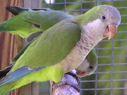 Loài vẹt có khả năng sử dụng lưỡi để nói